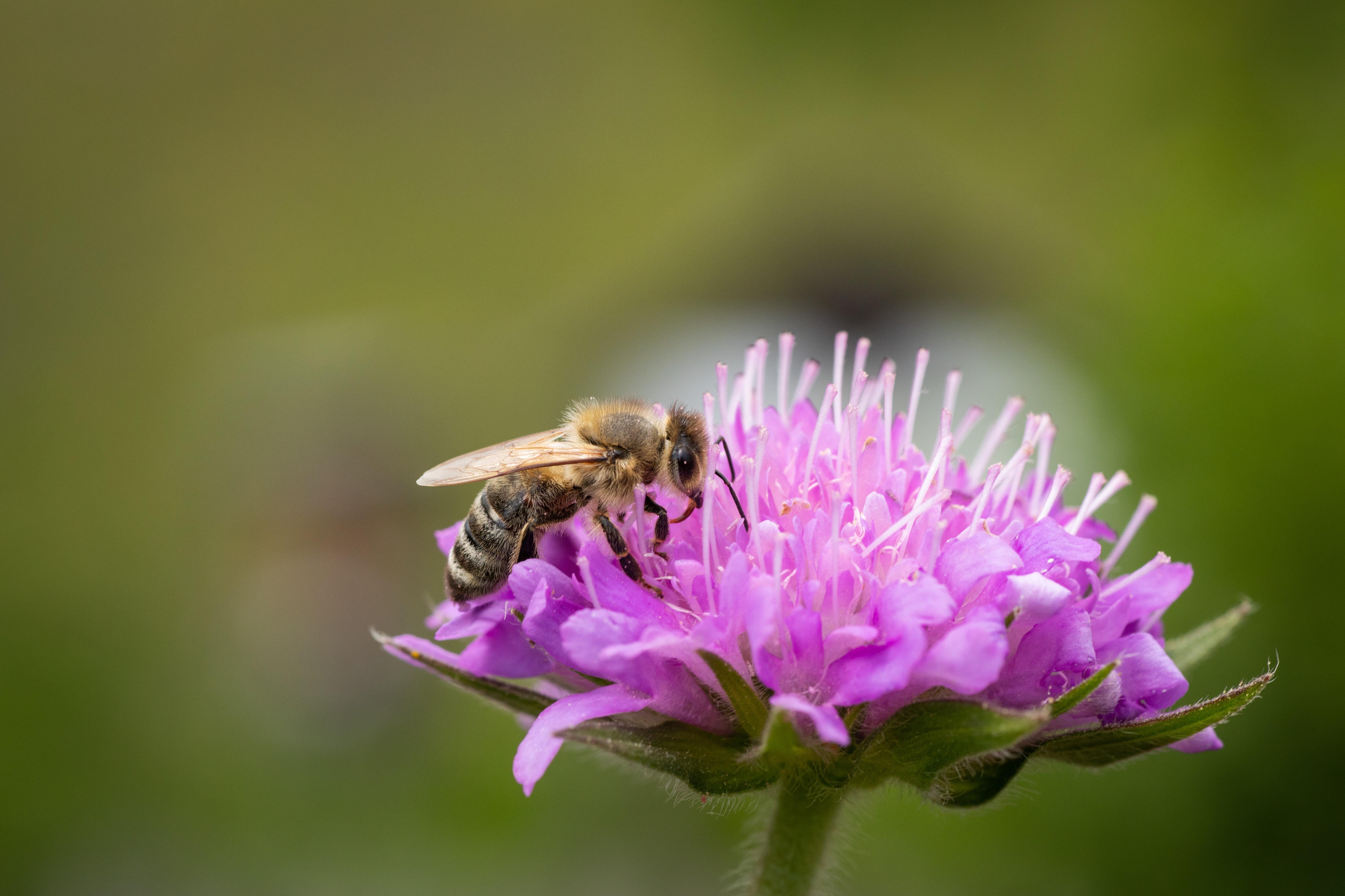 Un'ape che raccoglie il nettare